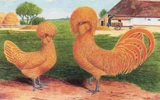 Голландская белохохлая порода кур описание фото отзывы