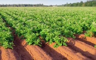 Посадка картофеля по голландской технологии + видео