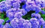 Агератум голубая норка фото выращивание