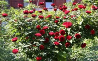 Роза плетистая дон жуан фото и описание