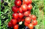 Голландские сорта томатов для теплиц