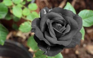 Роза плетистая черная королева отзывы + фото