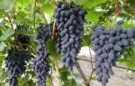 Виноград памяти негруля описание сорта фото отзывы