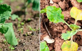 Почему вянет рассада капусты что делать