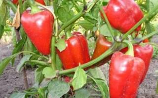 Сорта перцев устойчивых к пониженным температурам и болезням