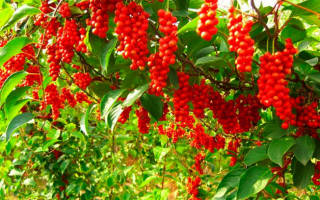 Настойка семян лимонника польза и вред применение отзывы