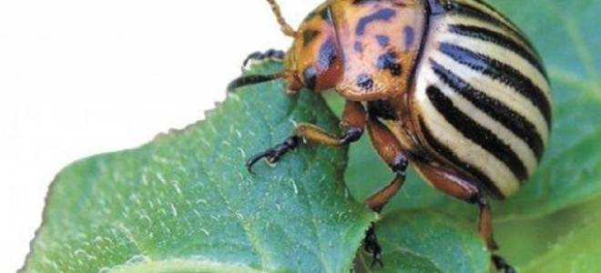 Горчица и уксус против колорадского жука пропорции