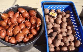 Картофель рябинушка описание характеристика сорта отзывы