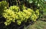 Чем подкормить виноград осенью