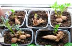 Проращивание клубней георгин после зимы