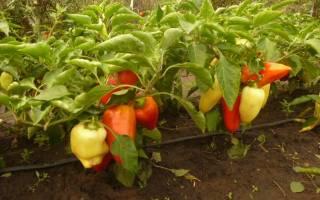 Перец сладкий низкорослые сорта с описанием и фото