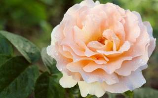 Роза плетистая полька отзывы фото и описание