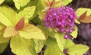 Спирея сохнет почему желтеют листья болезни и вредители