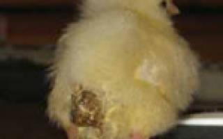 Чем лечить понос у цыплят