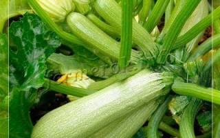 Кабачки кустовые сорта фото семена