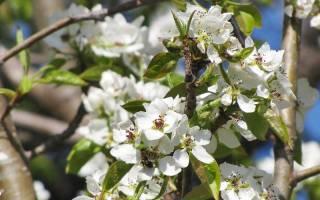 Груша чудесница описание фото отзывы садоводов опылители