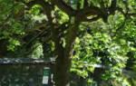 Поздние сорта груш фото с названием для средней полосы воронежской и ростовской области