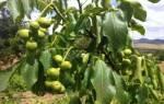 Сорта грецкого ореха морозостойкие скороплодные карликовые латеральные
