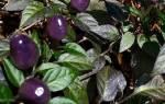 Белый перец сорта советы по выращиванию рассады