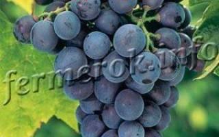 Виноград кубань описание сорта фото отзывы