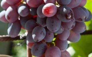Виноград низина описание сорта фото отзывы