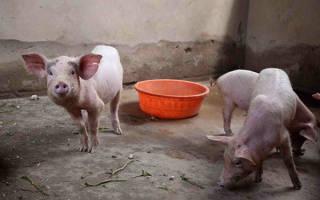 Свинарник своими руками
