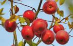 Яблоня звездочка описание сорта фото отзывы