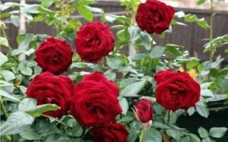 Парковые розы уход осенью подготовка к зиме