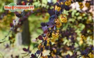 Барбарис оттавский (berberis ottawensis) декоративные деревья и кустарники описание фото