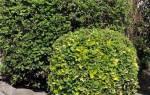 Бирючина притупленная декоративные деревья и кустарники фото