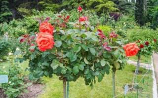 Как укрывать штамбовые розы на зиму