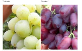 Виноград сенсация описание сорта фото отзывы