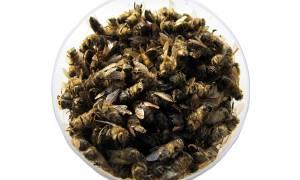 Подмор пчелиный применение для мужчин чем полезен лечебная настойка