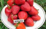 Клубника ароза (ароса arosa) описание сорта фото отзывы