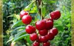 80 Лучших сортов вишни