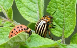 Колорадский жук фото как избавиться