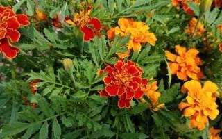Однолетние цветы в саду и на даче