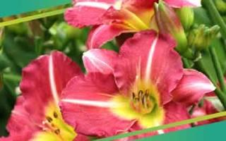Клумба непрерывного цветения из многолетников схемы