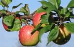 Яблоня слава победителям описание сорта фото отзывы