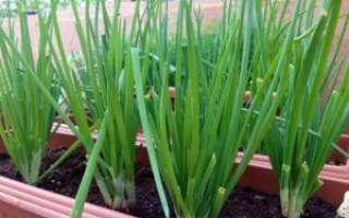 Выращивание из семян лукабатуна на подоконнике